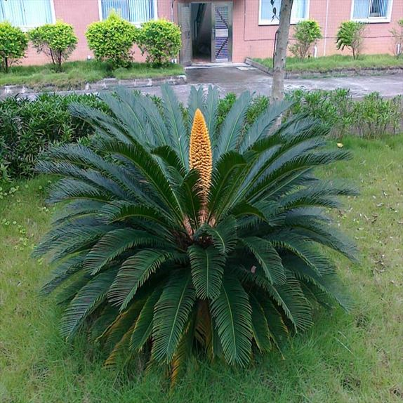 Cycas Revoluta Greene Glitter Wallpaper Creepypasta Choose from Our Pictures  Collections Wallpapers [x-site.ml]