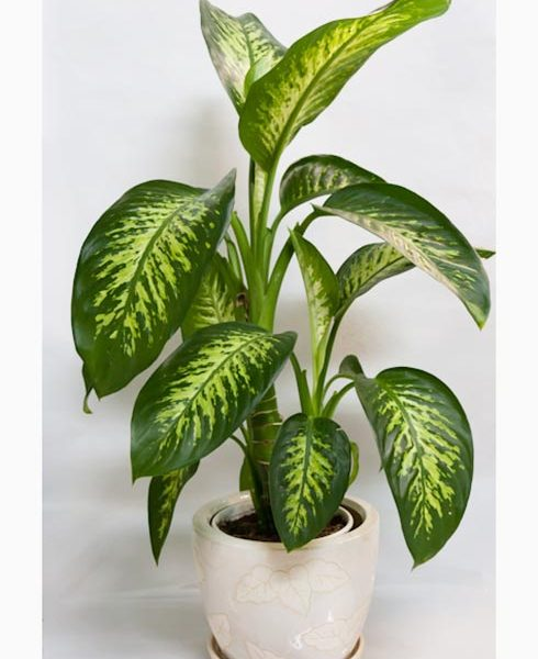 Dieffenbachia Local &Imported
