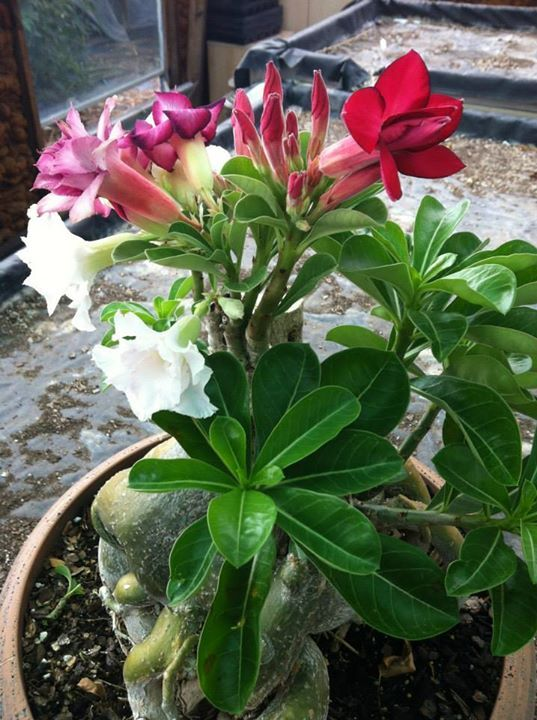 ADENIUM multicolored