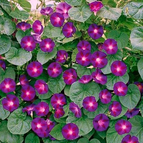 Morning Glory (Grandpa Ott)   Seeds