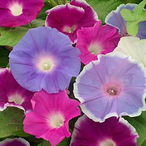 Morning Glory (Early Call Mixed) Seeds