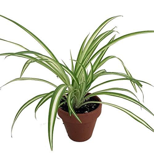 Spider Plant (Chlorophytum comosum)