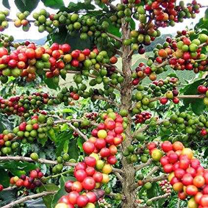 Coffee Plant NaNa seeds