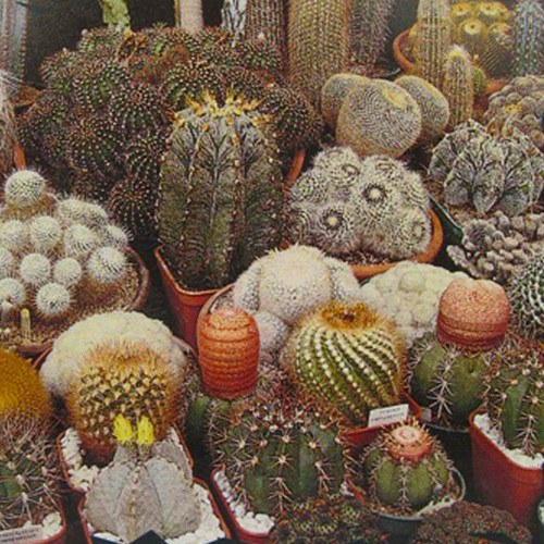 Cactus Seeds (Mixed)
