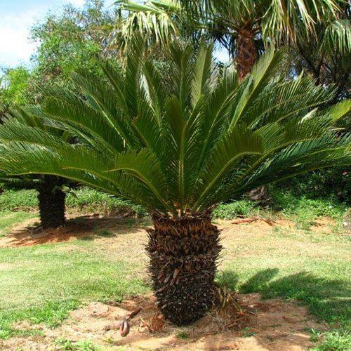 Kangi Palm (Sago Palm)