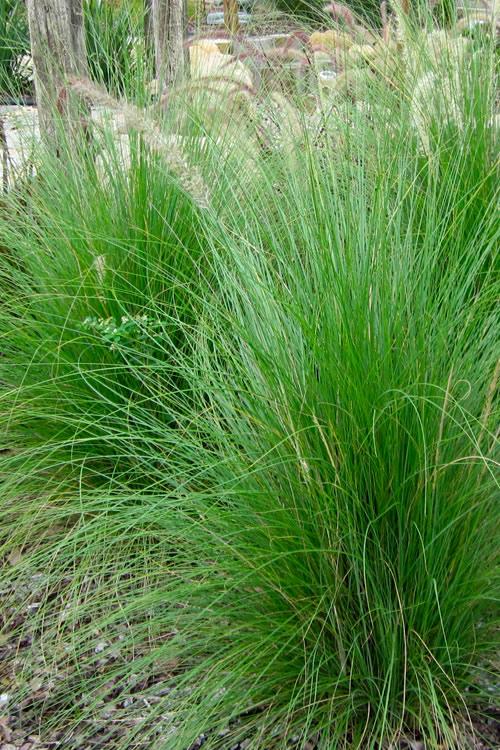 Green  Pennisetum Grass ( 5 pots per order)