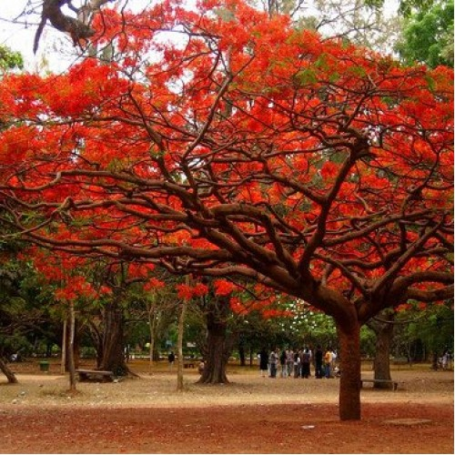 Gulmohar Tree (6 ft)
