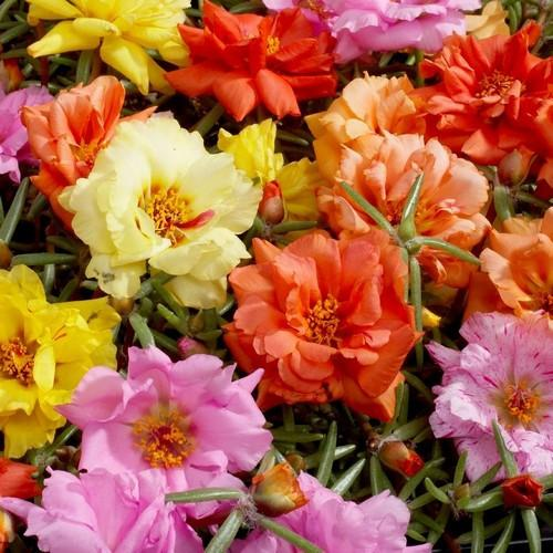 Portulaca (Mixed) Seeds