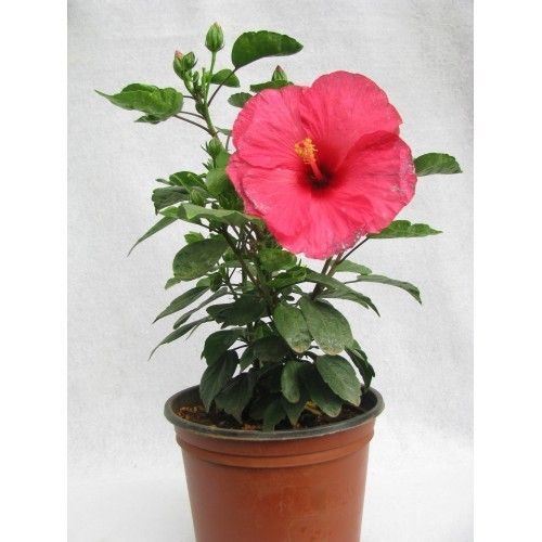Hibiscus (Rose mallow) local red flower