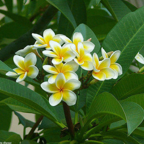 Thai Champa plant (Plumeria Pudica)