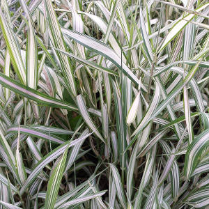 Ribbon Grass