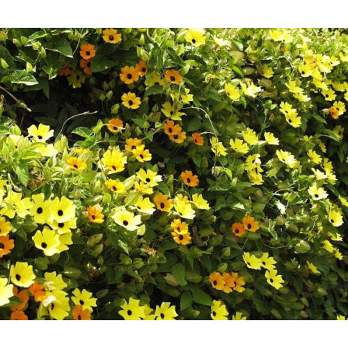 Black Eyed Susan vine (Creeper) Seeds