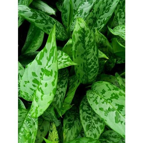 Agloanema local green (Chinese evergreen))