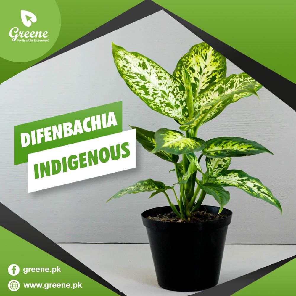 Difenbachia Indigenous
