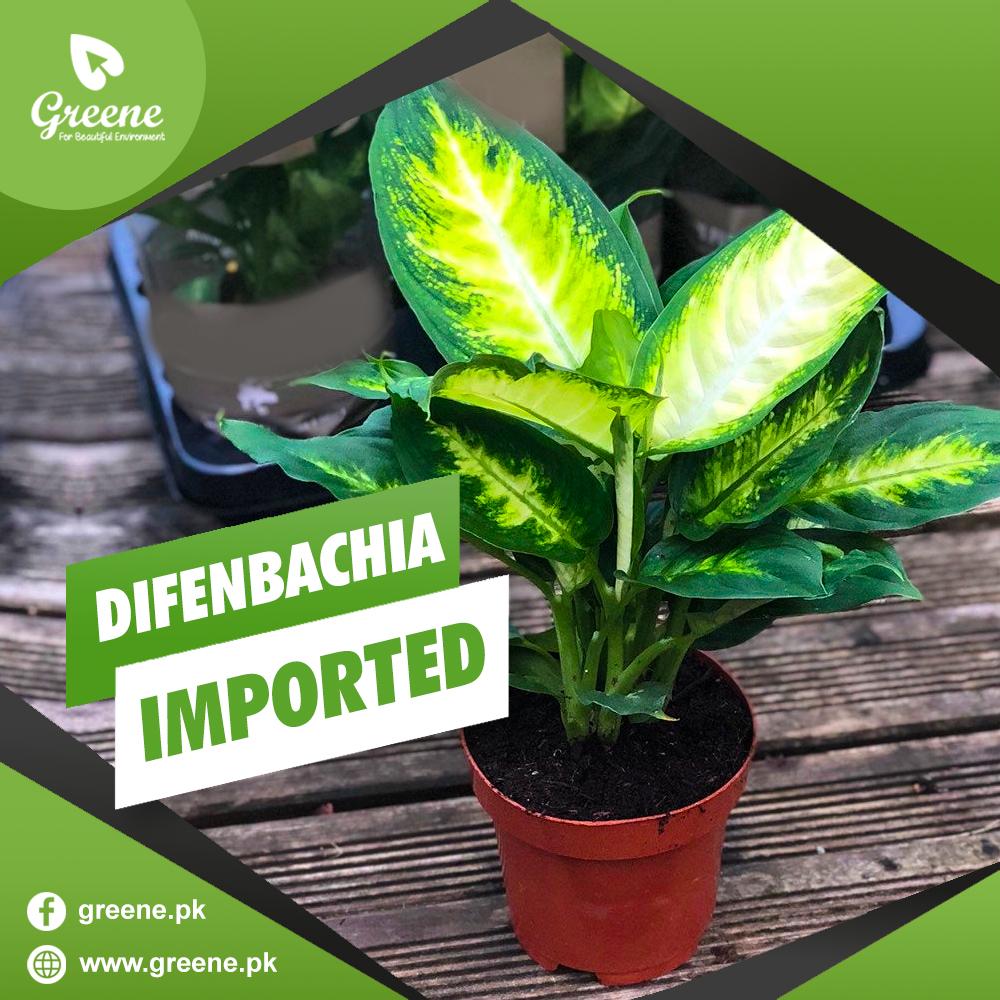 Difenbachia Imported