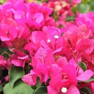 Bougainvillea (Pink)