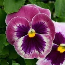 Pansy (Rosalyn) seeds