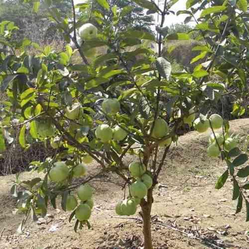 Guava (Amrood) Tree