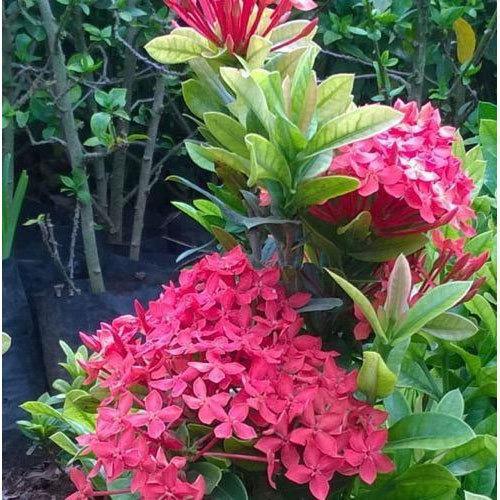 Ixora plant