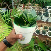Dwarf Snake Plant